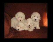 Se vende negocio de cría de perros - raza Coton de Tulear