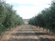 Finca de olivar en intensivo. 600 Hectáreas
