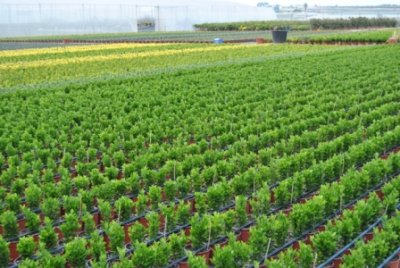 Vivero productor venta de empresas de produccion for Viveros ornamentales