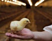 Explotación Avícola Alta Rentabilidad